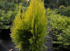 Thuja orientalis 'Pyramidalis Aurea' (Platycladus) -orientalischer Lebensbaum-