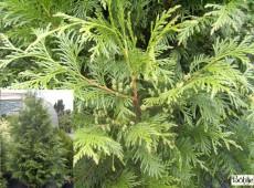 Thuja plicata -Riesenlebensbaum-