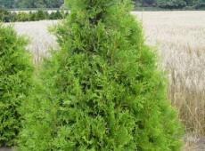 Thuja plicata 'Aurescens' -Goldspitzenlebensbaum-