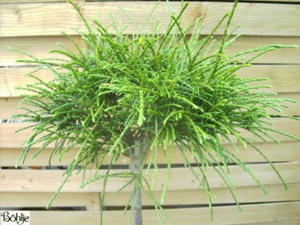 Thuja plicata 'Whipcord' -Faden-Riesenlebensbaum-
