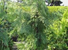 Thuja standishii -Japan - Lebensbaum-