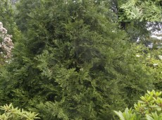 Thujopsis dolabrata -Hiba-Lebensbaum-
