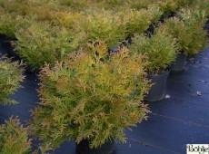 Thujopsis dolabrata 'Nana' -Zwerg-Hiba-Lebensbaum-