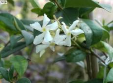 Trachelospermum jasminoides -Sternjasmin-
