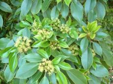 Trochodendron aralioides -Radbaum-