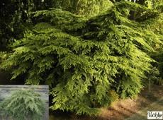 Tsuga canadensis 'Gracilis' -Kissenhemlocktanne-