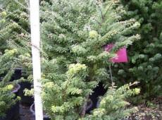 Tsuga diversifolia 'Minikin' -japanische Zwerg-Hemlocktanne-