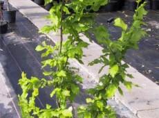 Ulmus carpinifolia 'Wredei' -Goldulme-