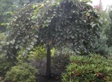 Ulmus glabra 'Pendula' -Trauerulme-