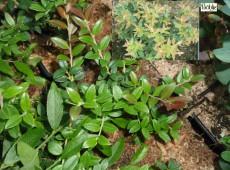 Vaccinium floribundum (Heidekrautgewächs)
