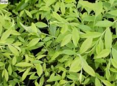 Vaccinium griffithianum
