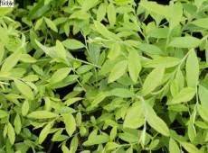Vaccinium griffithianum (Heidekrautgewächs)