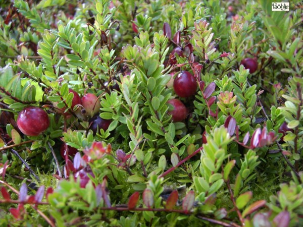 Vaccinium macrocarpon und Sorten (z. B. Pilgrim) -großfrüchtige Moosbeere, Cranberry-