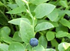 Vaccinium myrtillus -heimische Blaubeere-