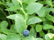 Vaccinium myrtillus -heimische Blaubeere- (Heidekrautgewächs)