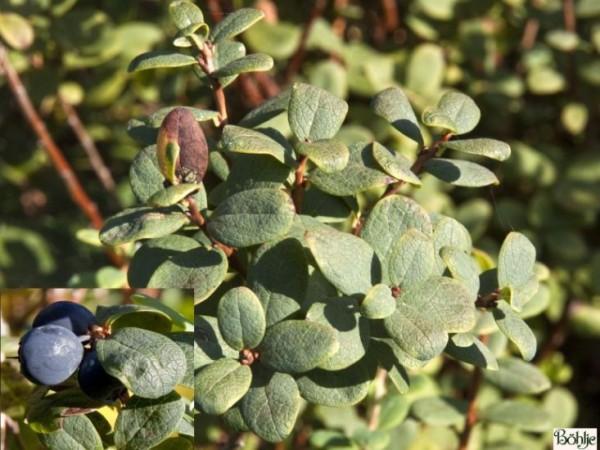 Vaccinium uliginosum -Rauschbeere / Moorbeere- (Heidekrautgewächs)