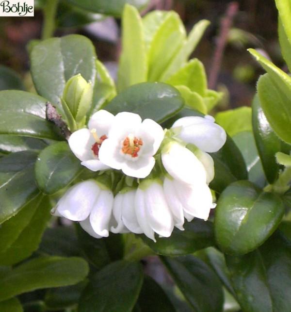 Vaccinium vitis - idaea -Preiselbeere-