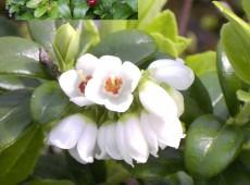 Vaccinium vitis-idaea -Preiselbeere- (Heidekrautgewächs)