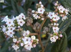 Viburnum 'Pragense' -Prager Schneeball-