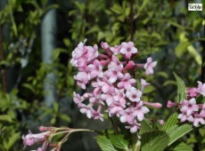 Viburnum bodnantense 'Dawn' - Winterschneeball-