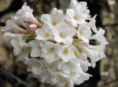 Viburnum bodnantense 'Deben' -Winterschneeball-