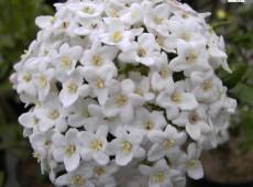 Viburnum burkwoodii -Osterschneeball-