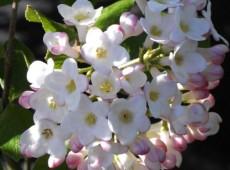 Viburnum burkwoodii 'Anne Russell' -Osterschneeball-