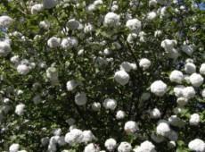Viburnum carlcephalum -großblumiger Schneeball-