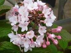 Viburnum carlesii 'Juddii' '