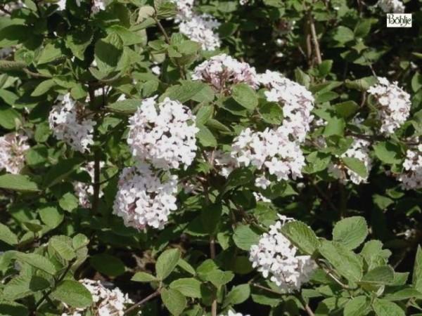 Viburnum carlesii - koreanischer Schneeball -