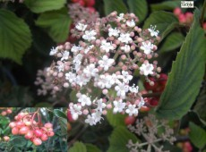 Viburnum dasyanthum