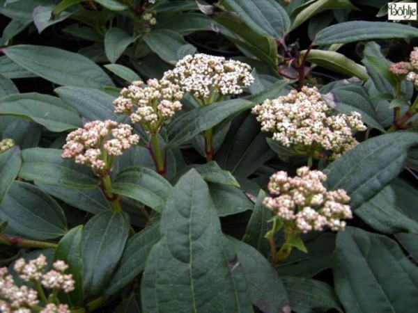 Viburnum davidii -Kissenschneeball-