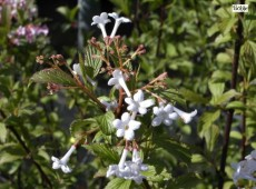 Viburnum farreri (fragans) - Duftschneeball -
