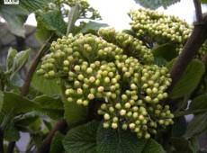 Viburnum lantana -wolliger Schneeball-