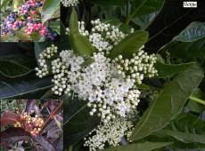 Viburnum nudum -Schneeball-