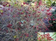 Viburnum opulus 'Compactum' -Zwerg Schneeball-