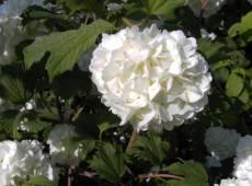 Viburnum opulus 'Roseum' ('Sterile') -Schneeball-