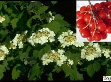 Viburnum opulus - gemeiner / gewöhnlicher Schneeball -