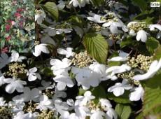 Viburnum plicatum 'Dart's Red Robin' -japanischer Schneeball-