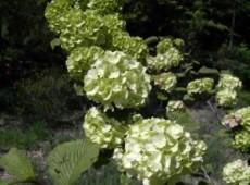 Viburnum plicatum 'Grandiflorum' ('Rotundifolium') -japanischer Schneeball-