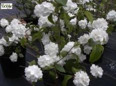 Viburnum plicatum 'Janny' -Schneeball-