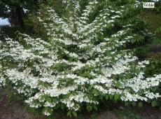 Viburnum plicatum 'Mariesii' -Schneeball-