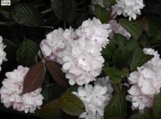 Viburnum plicatum 'Rosace' (Pink Sensation')