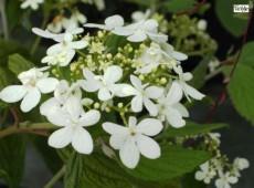 Viburnum plicatum 'Watanabe' -Zwergschneeball-