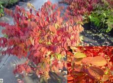 Viburnum plicatum tomentosum -filziger Schneeball-
