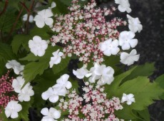 Viburnum sargentii 'Onondaga' -Schneeball-