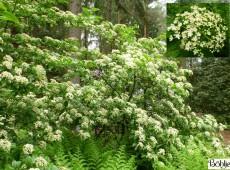 Viburnum sieboldii