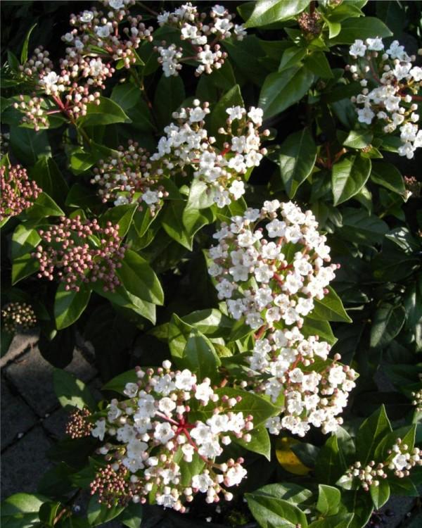 Viburnum tinus -Lorbeerschneeball-