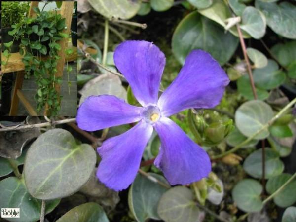Vinca major subsp. balcanica