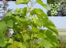 Vitis vinifera in Sorten -veredelte Weinrebe- (z. B. 'Bianca', 'Phönix', 'Regent')